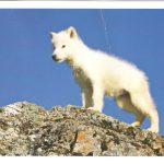 Щенок полярного волка