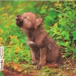 Щенок серого волка