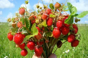 Wild-Strawberries-Nature-485x728