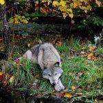 Волки, которые меняют реки
