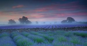 lavender_fields_dawn_20120528